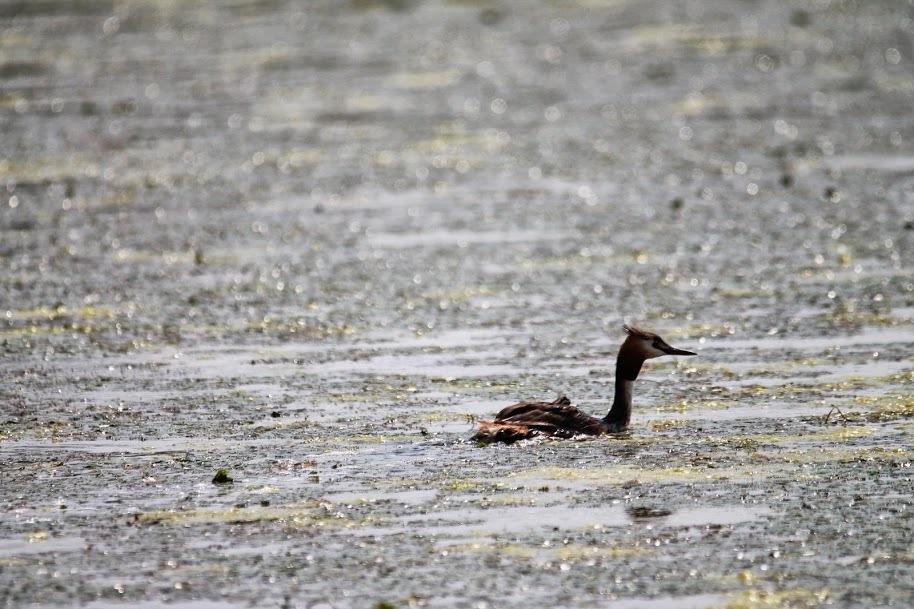 birdwatching pe lacul carasu in delta