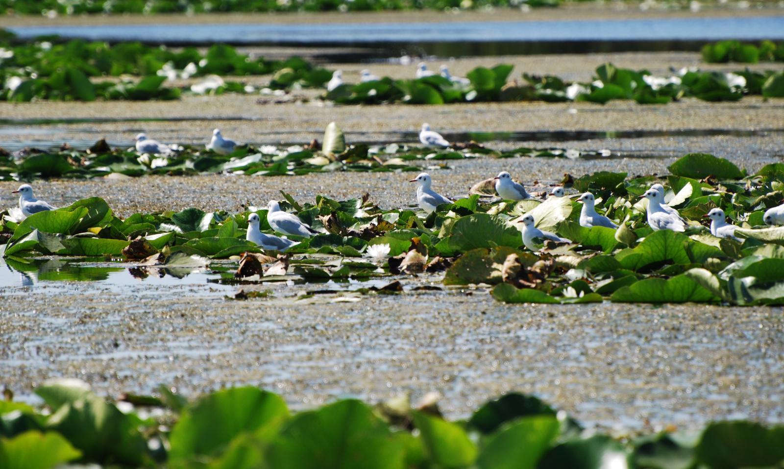 pescuit la stiuca pe lacul merhei in delta