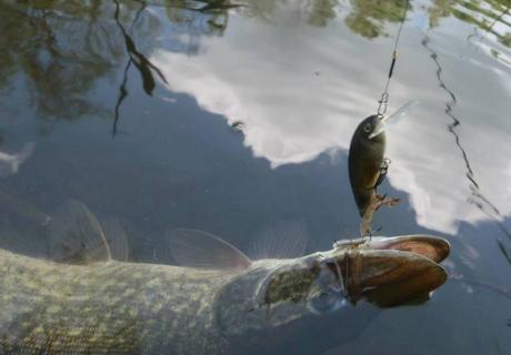 organizare partide de pescuit la rosu crap si stiuca