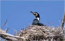 observare cormoran in delta dunarii