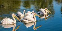 pelicani pe canalele din delta dunarii